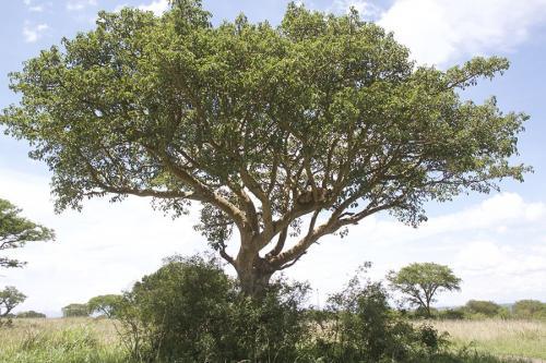 boomklimmende