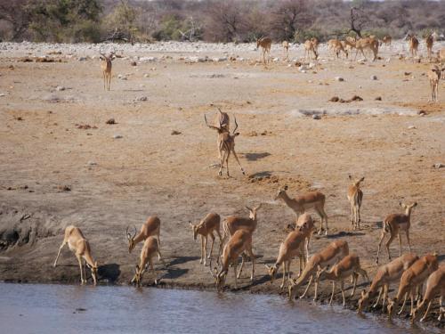 endangered black faced impala