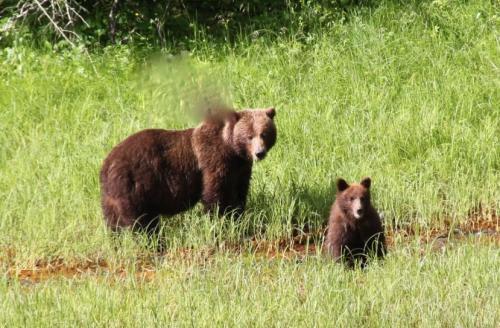 grizzley moeder en cub1